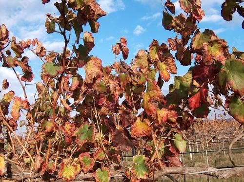 Fotobehang Wijngaard Vigneto, autunno