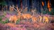 Leinwandbild Motiv Group of red deer in heathland