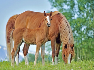 Beautiful chestnut Mare and curious Foal close together at pasture.