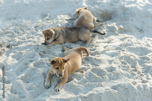 Group of Thai puppy playing on the beach digging sand. Cute small domestic dog.