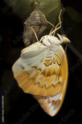 Plexiglas Vlinder Powdered Baron, Euthalia sp, Nymphalidae, Trishna, Tripura