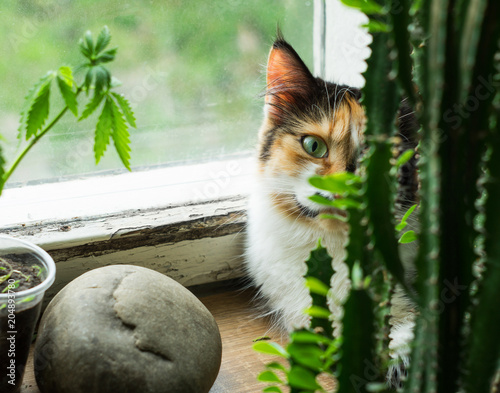 Fotobehang Kat Cat on windowsill, hemp plant and cactus