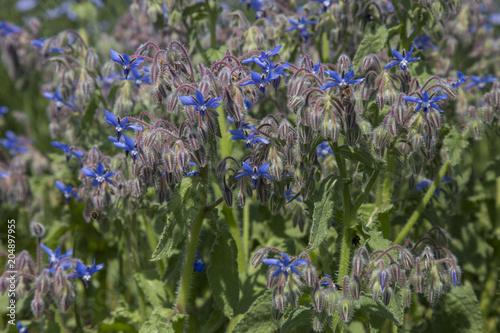 Plexiglas Lavendel Bourrache officinale