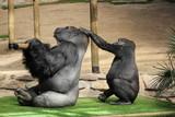 Gorille des paines - 204900139