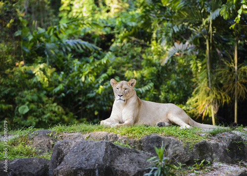 Fotobehang Lion Female african lion sisters resting on top of a rock
