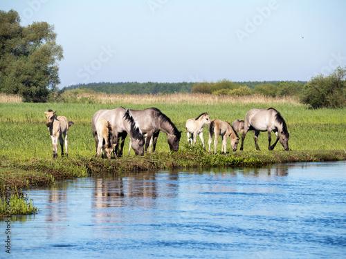 Fototapeta Półdzikie konie Tarpany nad rzeką Biebrzą