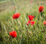 Poppy field close up - 204915960