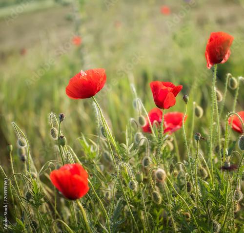 Plexiglas Klaprozen Poppy field close up
