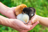 The child holds a chicken in his hands. Selective focus.  - 204920589