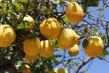 Zitronen am Baum - 204922352