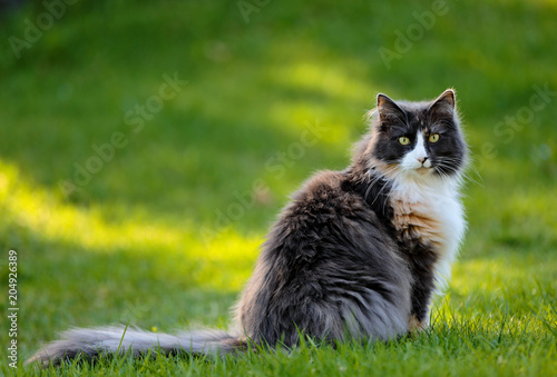 Fotobehang Kat Norwegian forest cat female sitting in a garden