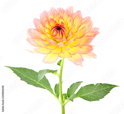 Beautiful Dahlia (Dahlie) isolated on white background. Germany