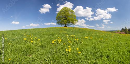 Foto Murales Perfekte Linde als Einzelbaum im Frühling