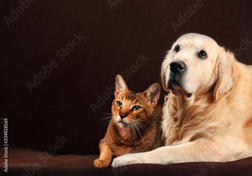 Fototapeta Cat and dog, abyssinian kitten , golden retriever looks at left