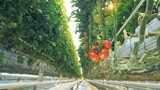 Hanging branch of red and green tomatoes growing in a glasshouse - 204931356