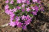 Phlox pilosa (Polemoniaceae)