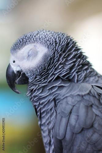 Aluminium Papegaai Big Parrot. Psittacus. Grey parrot. African Grey