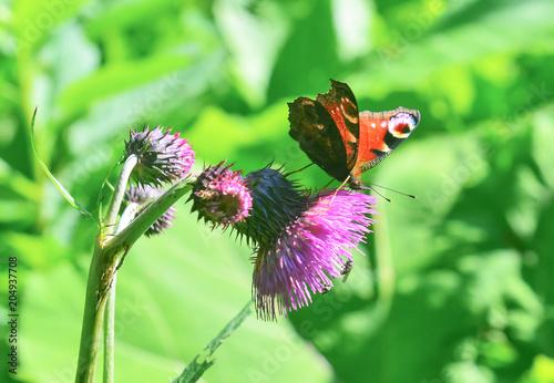 Plexiglas Vlinder Butterfly Inahis io.