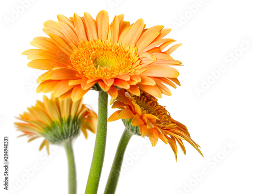Fotobehang Gerbera Yellow gerbera flowers isolated on white