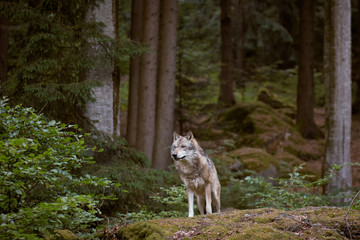 Wolf in Bayerischer Wald national park. Germany.