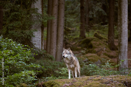 Canvas Natuur Wolf in Bayerischer Wald national park. Germany.