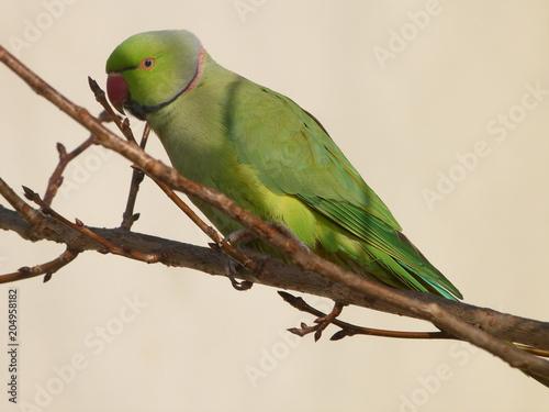 Fotobehang Papegaai perruche verte à collier
