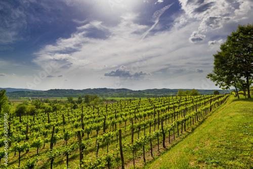 Fotobehang Wijngaard Vineyard in Vipava valley, Slovenia