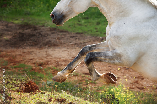 running Andalusian stallion in olive garden. close up