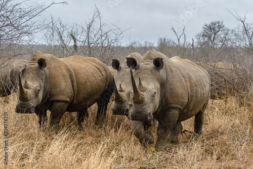 Fotobehang Neushoorn White rhinoceros in Hlane Royal National Park, Swaziland