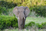 African Elephant in Addo Elephant National Park, South Africa