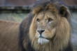 Lion at a Zoo