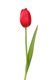 Red tulip on white - 204980158