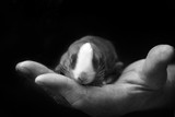 Newborn rabbit in the owner's hand.Caring for pets. Love to the animals