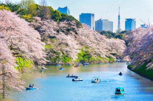 Cherry blossoms around Chidorigafuchi,Tokyo,Japan.