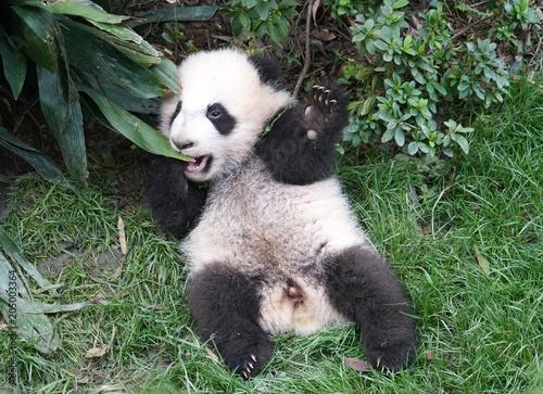 Fototapeta Cute baby panda playing on the ground