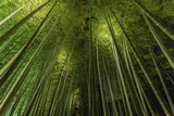Bamboo grove, bamboo forest at Arashiyama, Kyoto, Japan