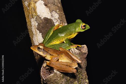 Plexiglas Kikker Malabar flying frog and common tree frog, Rhacophorus malabaricus, Rhacophorid, Agumbe ARRSC, Karnataka