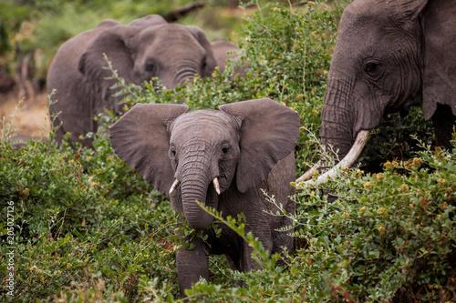 Fototapeta elefant