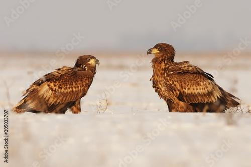 Fotobehang Eagle White-tailed Eagle - Haliaeetus albicilla two eagles