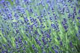 Lavendelblüten - 205039986