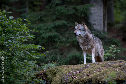 Fotobehang Wolf Wolf is standing on the rock in Bayerischer Wald National Park, Germany