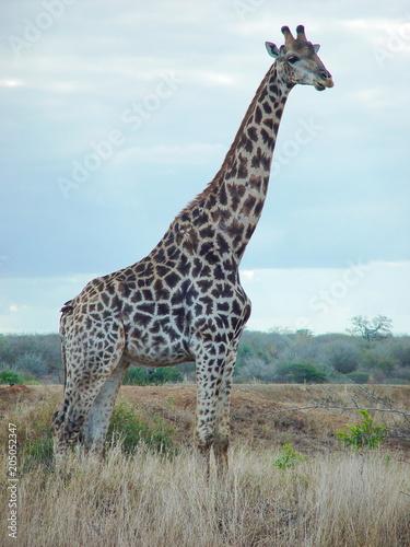 Fototapeta Giraffen Männchen