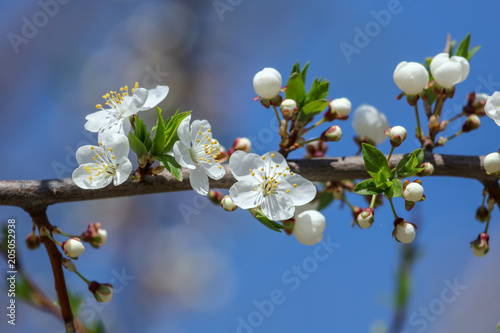 Flowers on a tree against a blue sky
