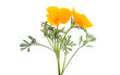 Californian poppy flower isolated