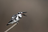Pied Kingfisher (Ceryle rudis) - 205059162