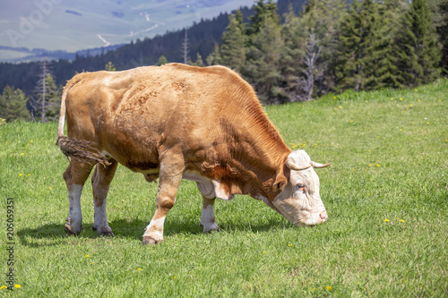 Foto Murales Domestic bull grazing on a mountain pasture