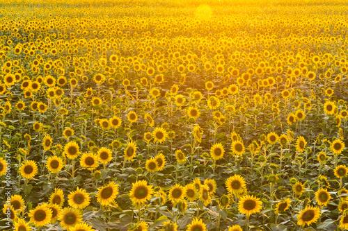 Fotobehang Oranje 夕暮れの向日葵
