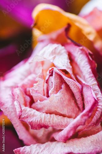 Foto Murales Close up of sear pink and violet rose petals