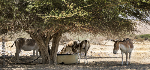 Foto Murales Onager is a brown Asian wild donkey (Equus hemionus) inhabits nature reserve park near Eilat, Israel