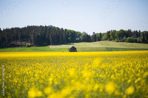 Fototapeta Rapsfeld in Deutschland